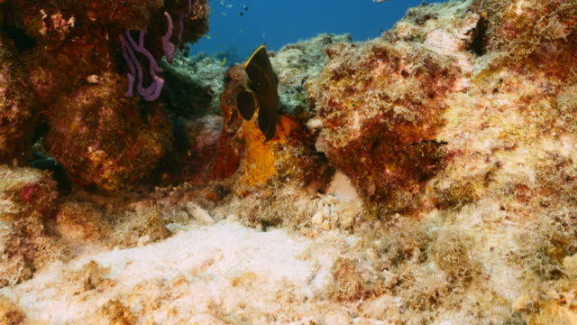 Seascape in turquoise water of coral reef in Caribbean Sea / Curacao with French Angelfish, coral and sponge video