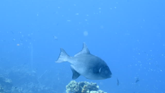 Seascape in turquoise water of coral reef in Caribbean Sea / Curacao with Ocean Triggerfish, coral and sponge video