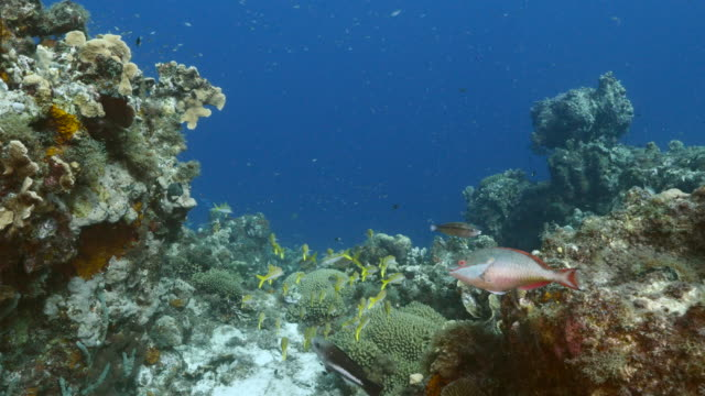 Seascape in turquoise water of coral reef in Caribbean Sea / Curacao with school of fish, coral and sponge video