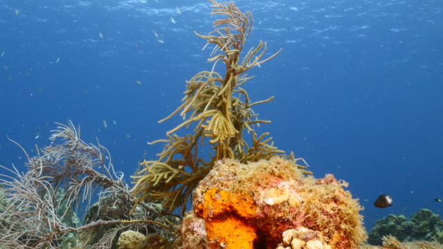 Seascape in turquoise water of coral reef in Caribbean Sea / Curacao with fish, coral and sponge video