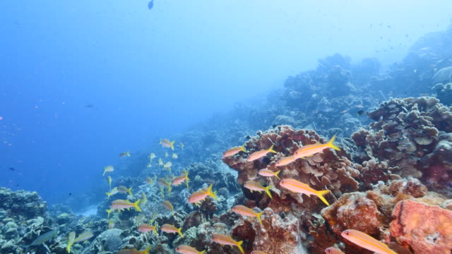 Seascape in turquoise water of coral reef in Caribbean Sea / Curacao with school of Grunt, coral and sponge video