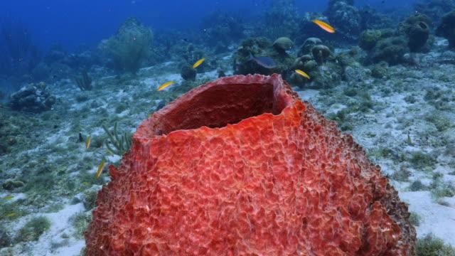 Seascape Korallenriff in Karibik auf Curacao am Tauchplatz Playa Lagun mit großer Schwamm – Video