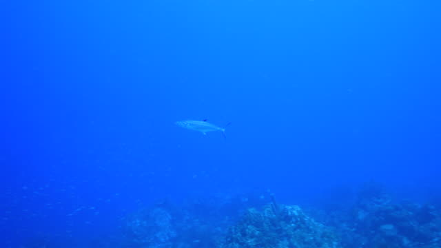 Seascape Korallenriff in Karibik auf Curacao am Tauchplatz Playa Lagun mit Schwimmen Thunfisch – Video