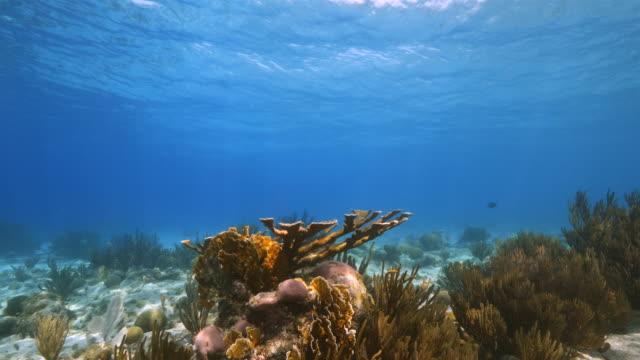 カリブ海ダイビング サイト プラヤ hundu エルクホーン サンゴにキュラソー島周辺のサンゴ礁の海の絵 - 広角撮影点の映像素材/bロール