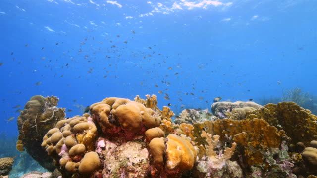 カリブ海ダイビング サイト プラヤ hundu 様々 なサンゴとスポンジにキュラソー島周辺のサンゴ礁の海の絵 - 広角撮影点の映像素材/bロール