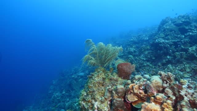 カリブ海ダイビング サイト ブラック コーラル ガーデン、様々 なサンゴとスポンジにキュラソー島周辺のサンゴ礁の海の絵 - 広角撮影点の映像素材/bロール