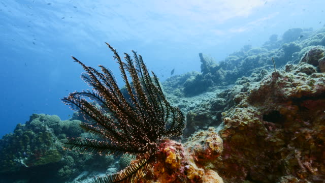 Seascape of coral reef in Caribbean Sea / Curacao with coral, sponge and Crinoid video