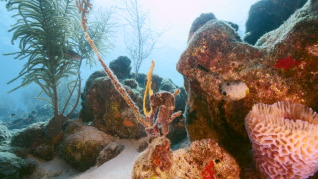 Seascape of coral reef in Caribbean Sea / Curacao with Seahorse, coral and sponge video