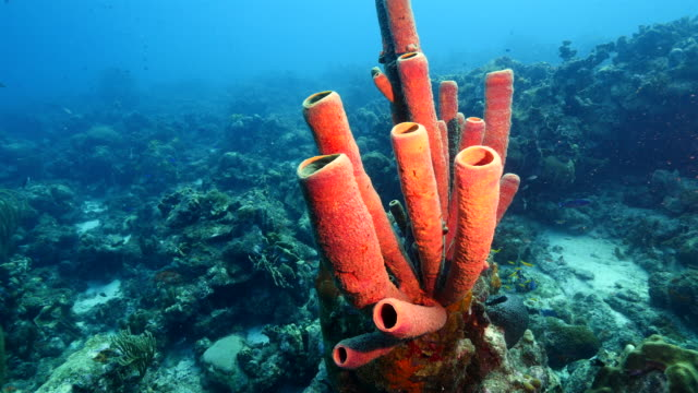 Seascape of coral reef in the Caribbean Sea around Curacao at dive site Groote with various corals and sponges video