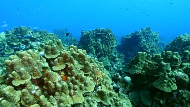 Seascape Korallenriff in der Karibik auf Curacao am Tauchplatz Mushroom forest – Video