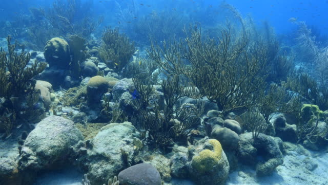 Seascape of coral reef in the Caribbean Sea around Curacao / Netherland Antilles video
