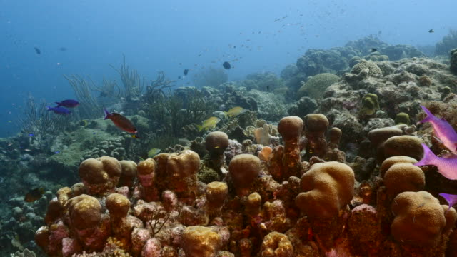 Seascape of coral reef in the Caribbean Sea around Curacao with Pillar Coral and sponge video