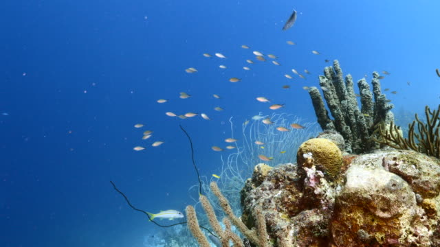 Seascape of coral reef in the Caribbean Sea around Curacao with coral and sponge video