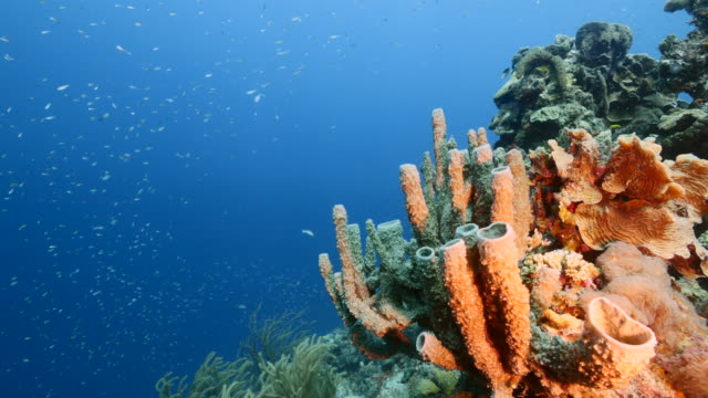 Seascape of coral reef in the Caribbean Sea around Curacao with fish, coral and sponge video