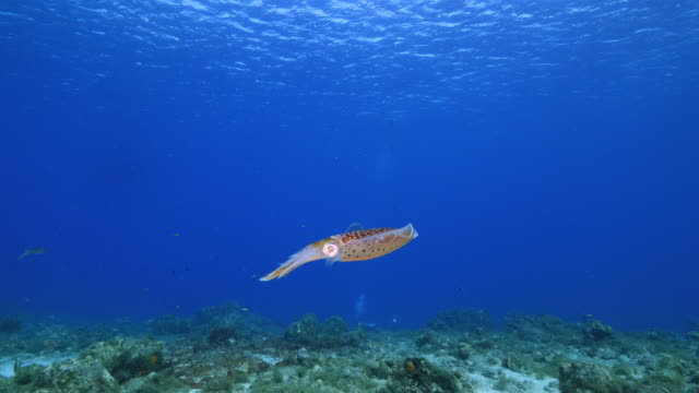 Seascape of coral reef in the Caribbean Sea around Curacao with Reef Squid, coral and sponge video