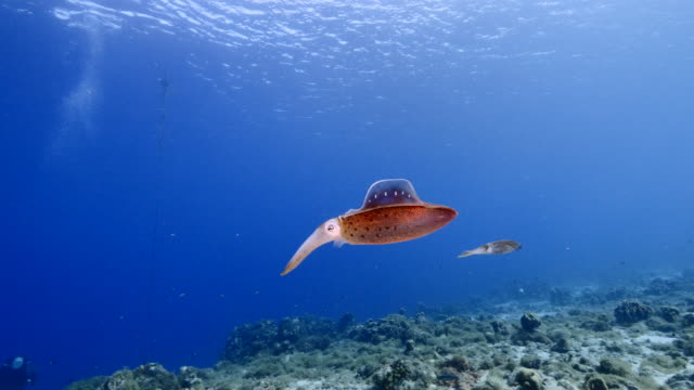 Seascape of coral reef in the Caribbean Sea around Curacao with Reef Squid, coral and sponge wide angel of coral reef at scuba dive around Curaçao /Netherlands Antilles with soft and hard coral in foreground and blue background curaçao stock videos & royalty-free footage