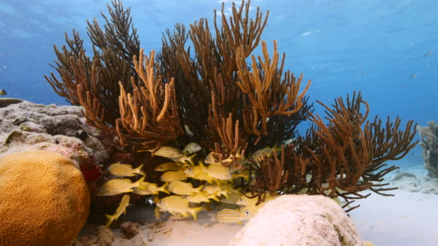 Seascape of coral reef in the Caribbean Sea around Curacao with Yellowtail Snapper, Butterflyfish, coral and sponge video