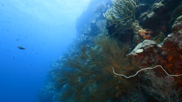 Seascape of drop off in coral reef of Caribbean Sea / Curacao with fish, coral and sponge video