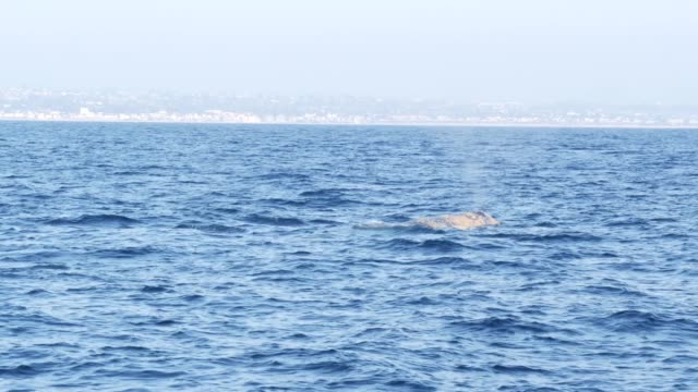 Seascape View from the boat of Grey Whale in Ocean during Whalewatching trip, California, USA. Eschrichtius robustus migrating south to winter birthing lagoon along Pacific coast. Marine wildlife.