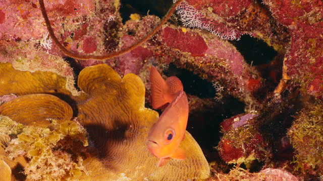 Seascape with Bigeye, Glasseye Snapper in coral reef of Caribbean Sea, Curacao video