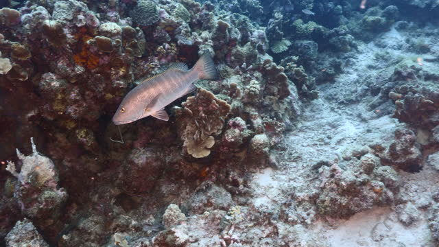 Seascape with Cubera Snapper in turquoise water of coral reef in Caribbean Sea around Curacao video