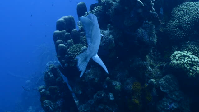 Seascape with Ocean Triggerfish in turquoise water of coral reef in Caribbean Sea around Curacao video