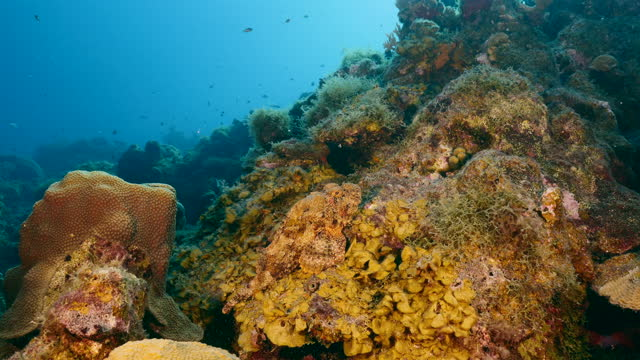 Seascape with Scorpionfish, coral and sponge in coral reef of Caribbean Sea, Curacao video