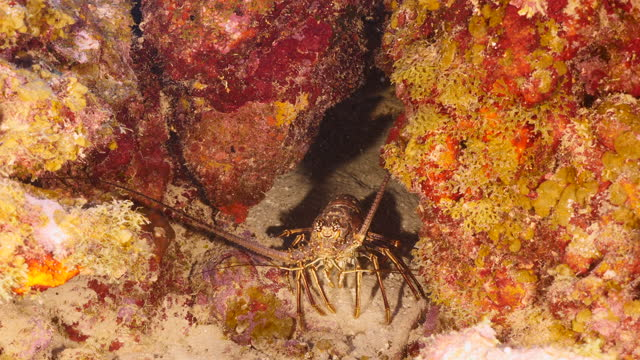 Seascape with Spiny Lobster in turquoise water of coral reef in Caribbean Sea around Curacao video