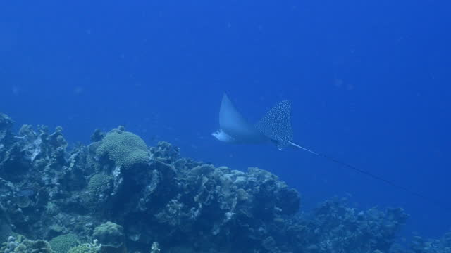 Seascape with Spotted Eagle Ray in turquoise water of coral reef in Caribbean Sea around Curacao video