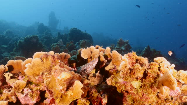Seascape with Spotted Moray eel, coral and sponge in coral reef of Caribbean Sea, Curacao video