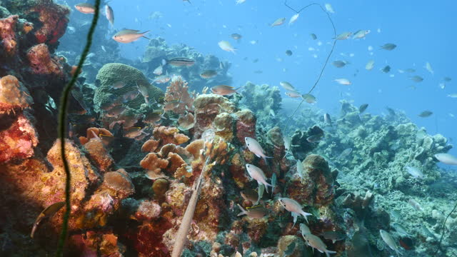 Seascape with various fish in turquoise water of coral reef in Caribbean Sea around Curacao video