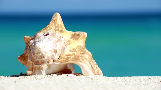 vidéos et rushes de coquillage sur le sable de la plage la mer des caraïbes - coquillage
