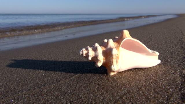 vídeos de stock e filmes b-roll de concha do mar na praia de areia do mar de verão molhado - bugio
