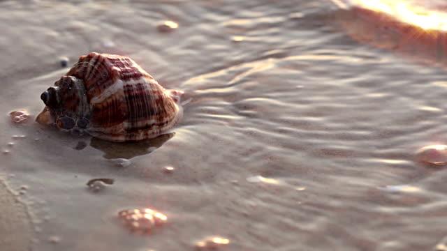vidéos et rushes de coquillage sur la plage. gros plan. - coquillage