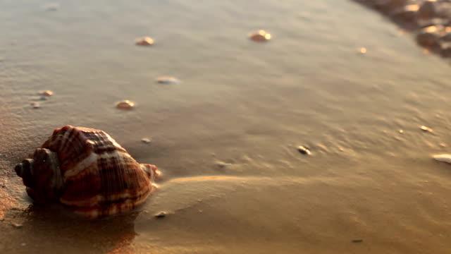 vidéos et rushes de coquillage sur le sable doré - coquille et coquillage