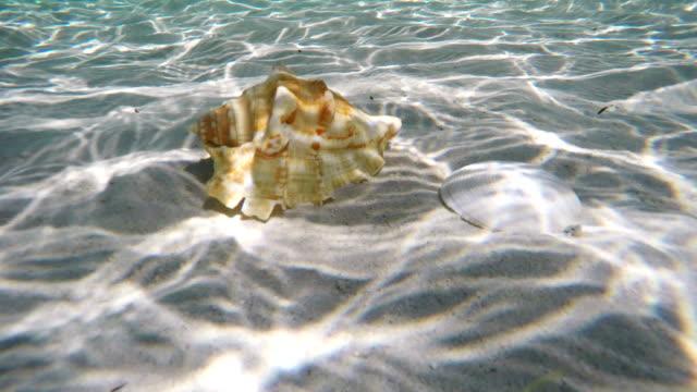 vídeos de stock e filmes b-roll de concha do mar debaixo de água - bugio