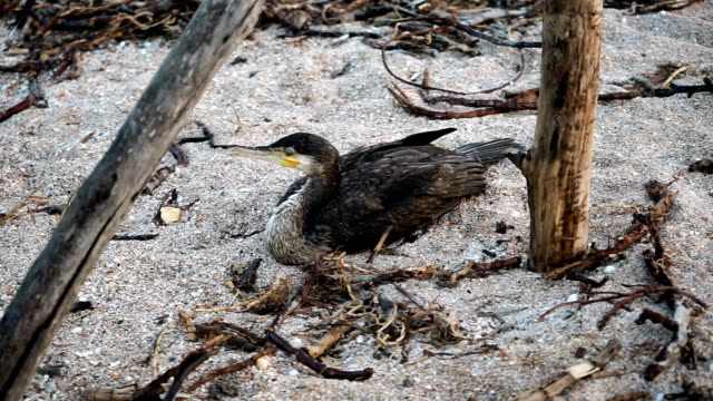 Seaside resort. A grey great cormorant lying on the sandy sea shore. HD Seaside resort. A grey great cormorant lying on the sandy sea shore. A large fish-eating seabird with a long neck and a beak like a hook. HD water bird stock videos & royalty-free footage