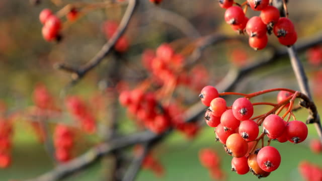 Season of beautiful autumn leaves and red small fruits. Nature background.4k video video