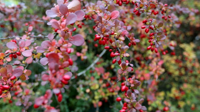 Season of beautiful autumn leaves. Nature background. video