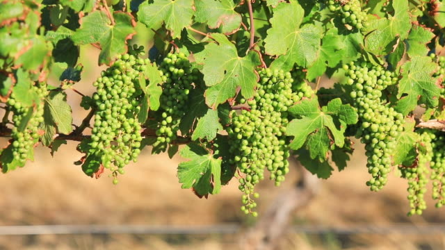 Seasonal vineyard background video