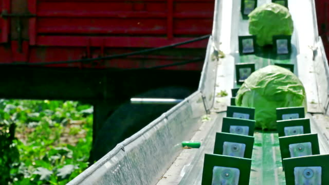 Seasonal Work in the Field - Harvesting Cabbage video