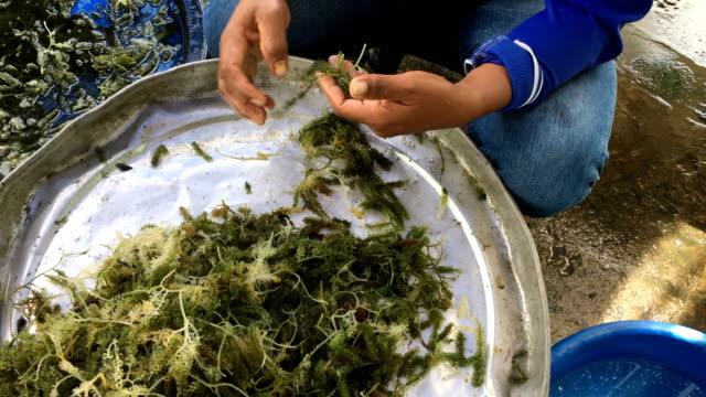 WS:Seaweed grape video