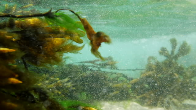 seaweed in 5 X slow motion at Fistral Beach, Newquay, Cornwall on a June day. video
