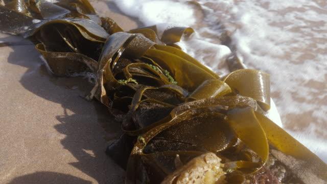 vídeos de stock e filmes b-roll de seaweed washed up on the beach in essaouira, morocco. - castanho
