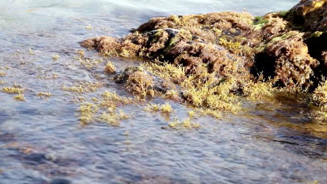 Seaweeds on stone video