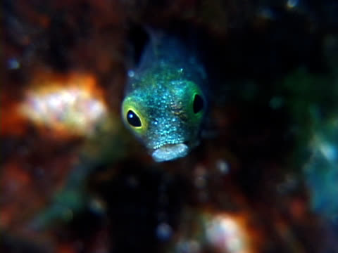 Secretary Blenny ECU ECU of a small green fish with crazy yellow and black eyes that rotate independent as the fish looks around in all directions turks and caicos islands stock videos & royalty-free footage