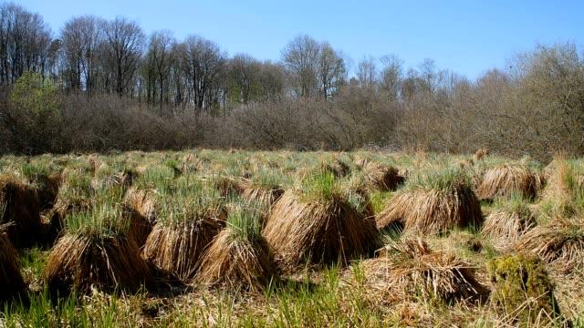 Seggen in Moor austreibende Segen in Moor im Wald wasser videos stock videos & royalty-free footage