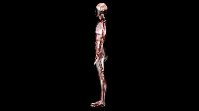 See Through Man - Internal Organs video