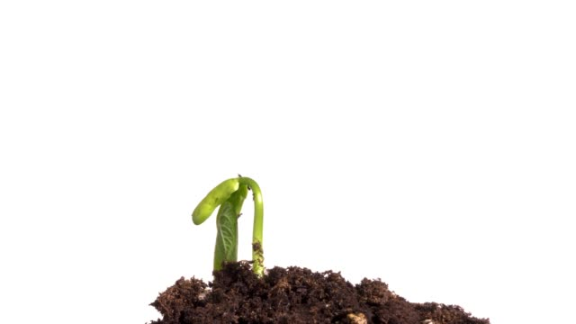 seed germinating time lapse white background - plants stock videos & royalty-free footage