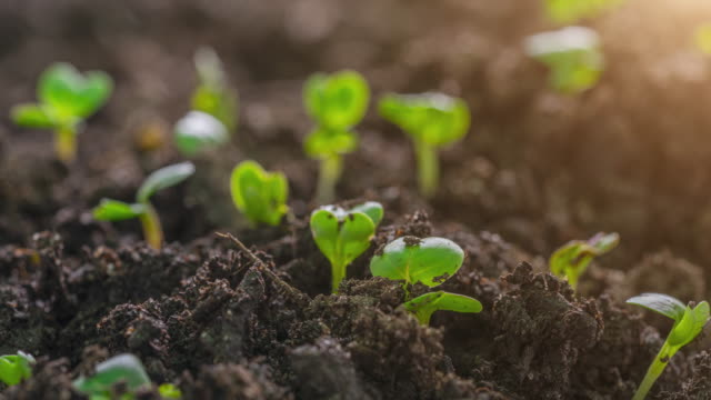Video Seed Germination and Time Lapse With Lens Flare Macro